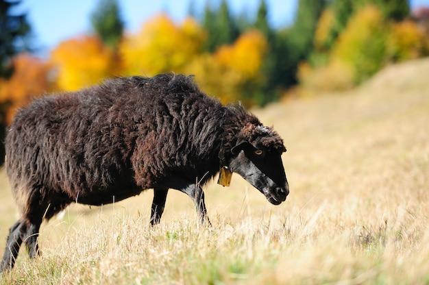 Sheep on a autumn field