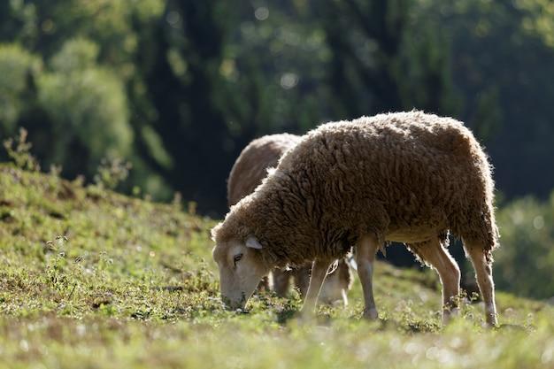 Sheep on beautiful mountain meadow