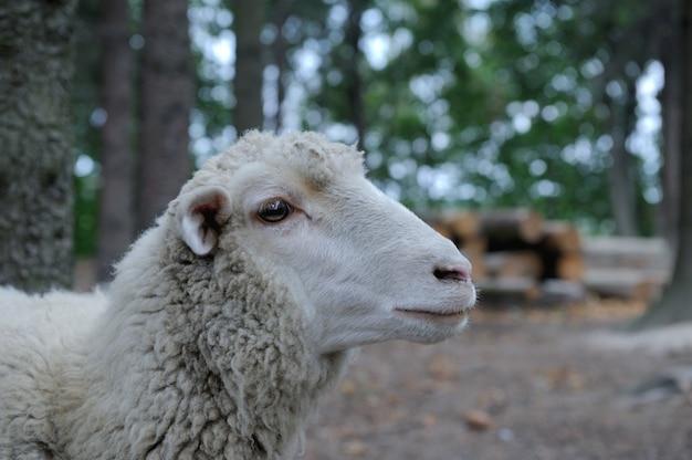 Овцы крупным планом на фоне леса