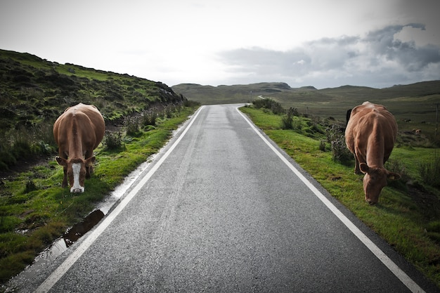 Sheep and cows walking on a road in the north of scotland.