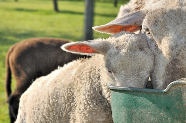 Sheep drinking in throught