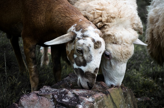 Sheep eat some food on rock in farms.