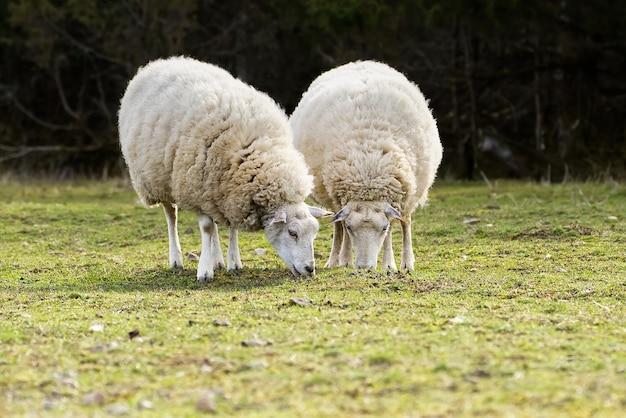 카메라 농업 무료 방목 개념을 찾고 스프링 필드 양에 신선한 잔디 unshorn 양을 먹는 양