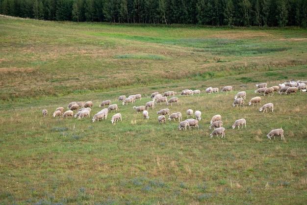森のそばの野原で草を食べる羊。