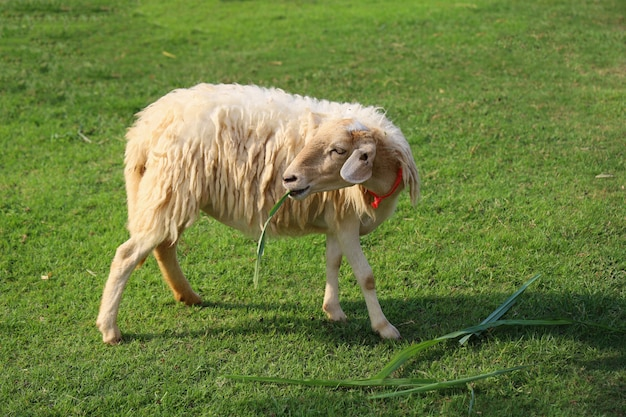 Sheep eatting grass in emtry garden at thailand