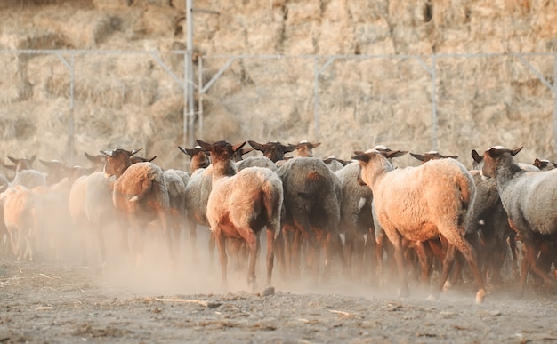 羊牧場。羊の家畜のグループ。