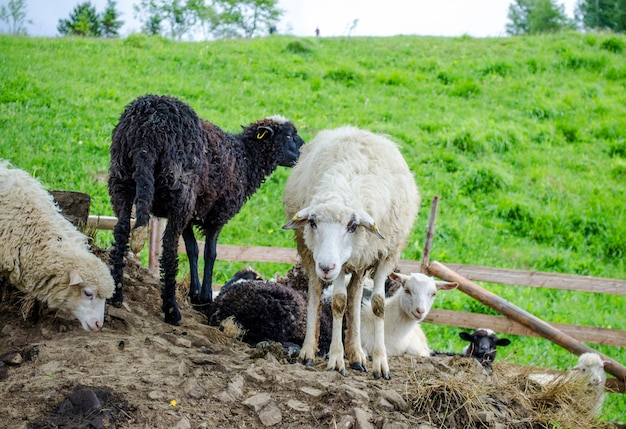 Sheep on a farm in the mountains of western ukraine