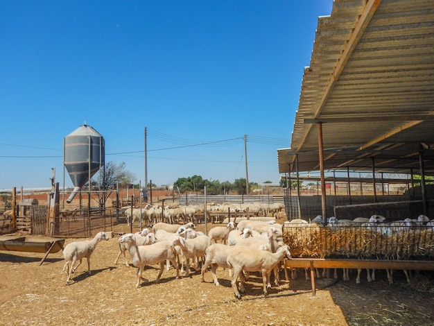 Sheep farm for the production of milk