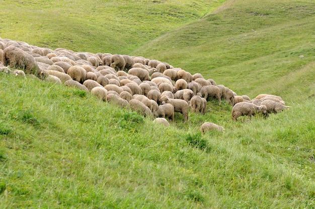 Sheep flock in meadow