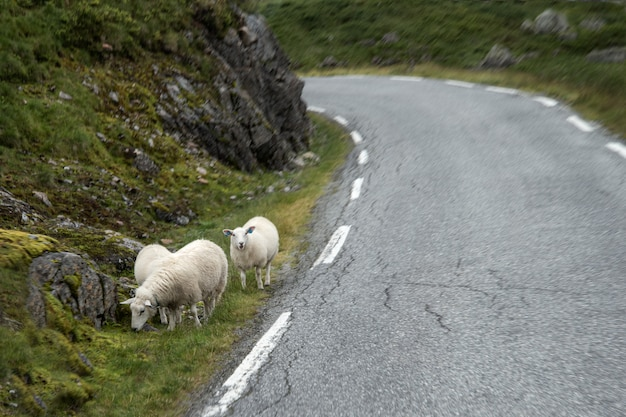 Sheep graze on the edge of road