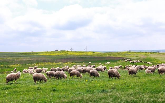黄色い花の牧草地で羊が放牧