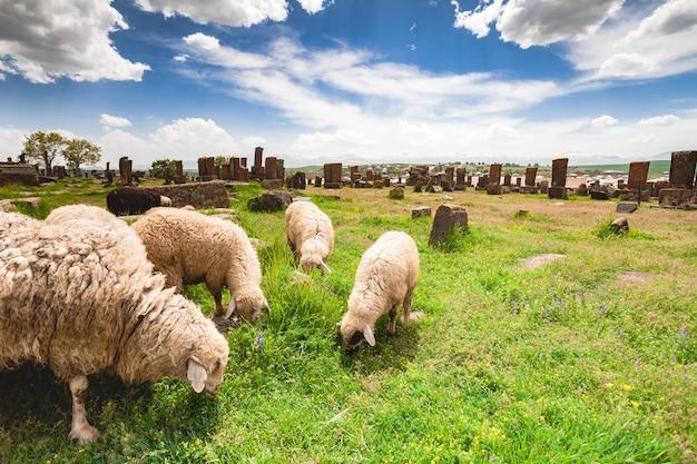 Овцы пасутся на кладбище норатус с хачкарами армения