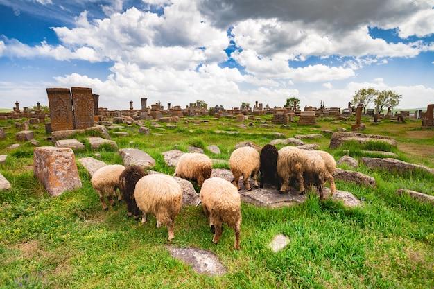 Овцы пасутся в норатусе