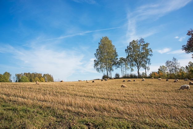 Sheep grazing in autumn. beautiful autumn landscape scene with sheep in paddock and trees on the background.