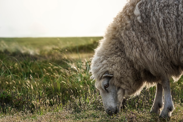 Sheep grazing close-up on sylt island. animal side view