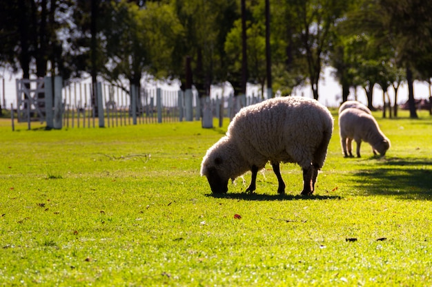 Sheep grazing on the farm in summer