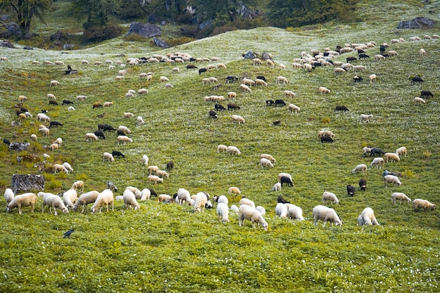 Sheep grazing in the green fields