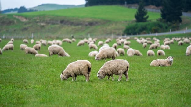 フィールドで羊の放牧