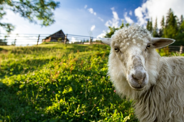 羊が牧草地で放牧します。カルパティア山脈。