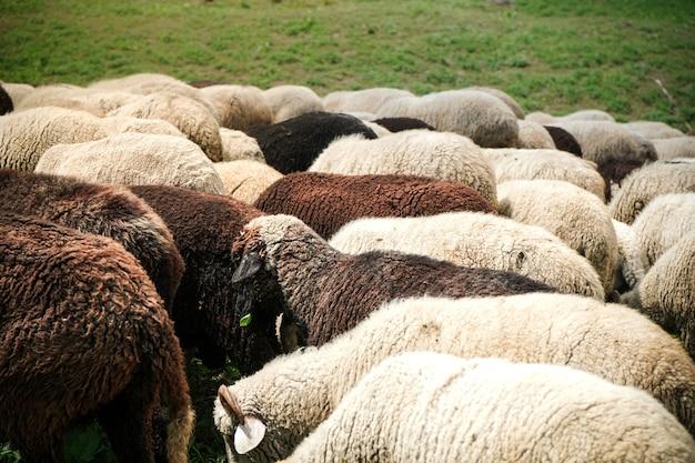 緑の野原での羊の放牧
