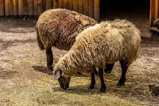 農場の柵で羊が放牧している。