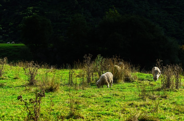 ニュージーランドの土地での羊の放牧