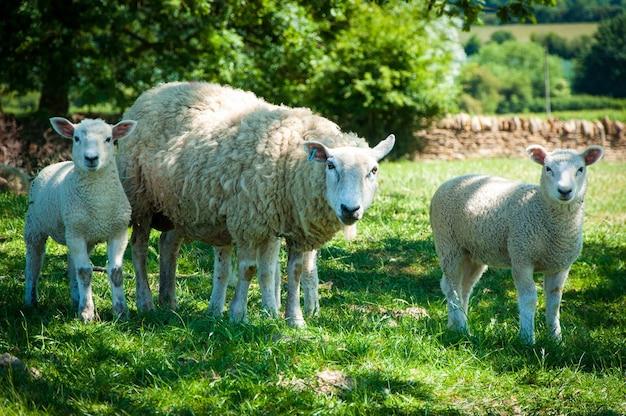 昼間は緑の芝生の上で羊を放牧