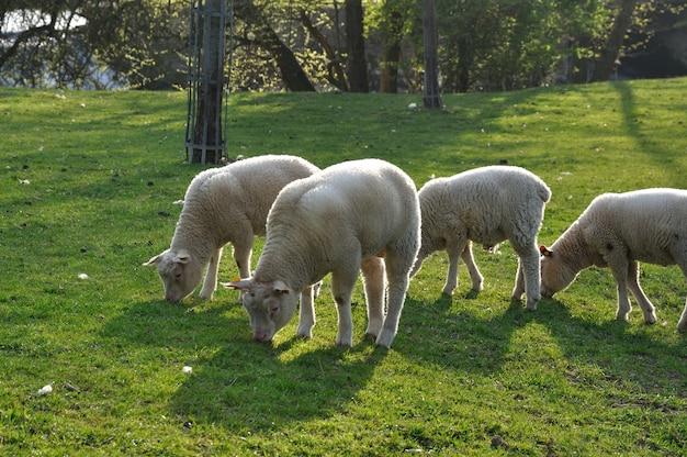 牧草地での羊の放牧