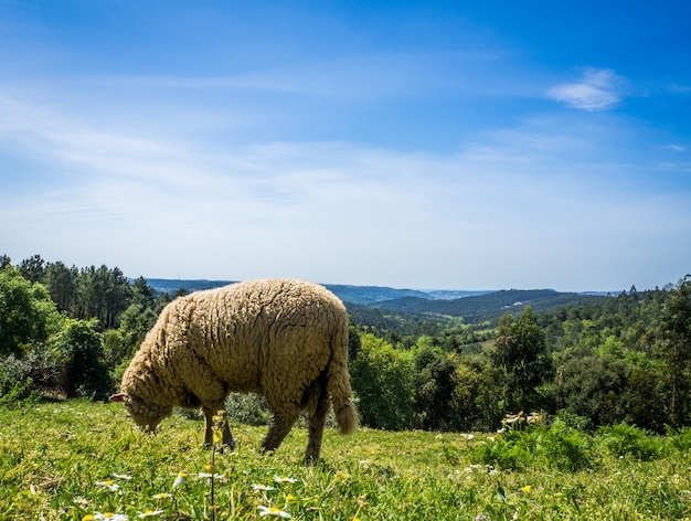 Sheep grazing on the pasture in a grassy field during daytime
