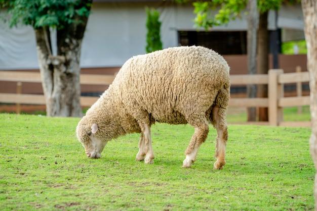 Sheep on green grass field in farm house.