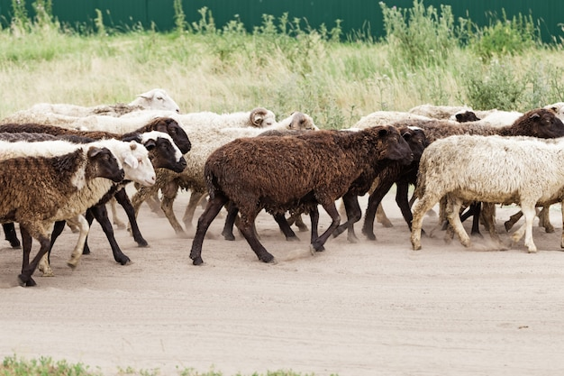 Sheep in group go pasture. animal breeding. domestic cattle outdoors. livestock.