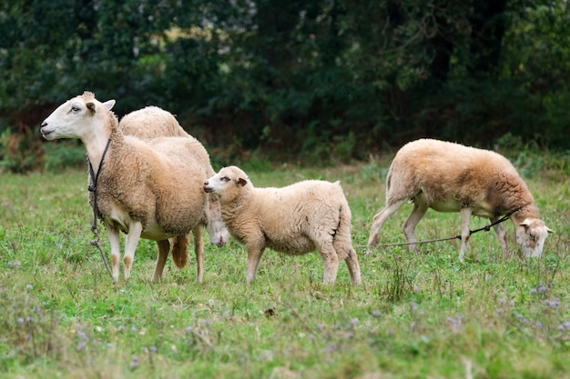 Sheep group and lamb on a meadow with green grass. flock of sheep.