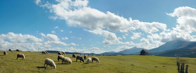 Sheep herd on mountain plateau pasture (carpathian mountain, ukraine). in opposite sunlight direction. five shots stitch image.