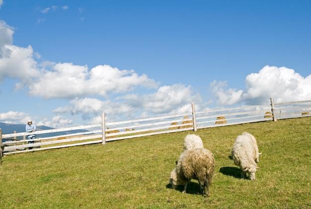 山の高原の牧草地の羊の群れ。