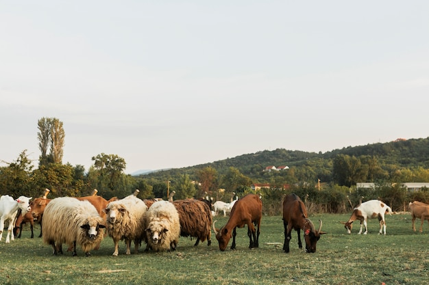 Sheep and horses grazing together on a green grass land
