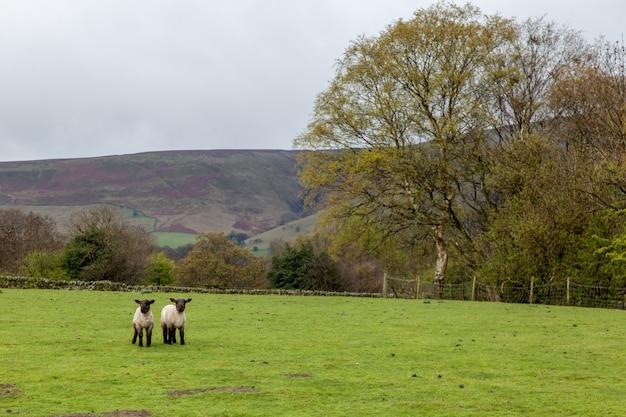 英国の曇り空の下、丘に囲まれた緑に覆われた野原の羊