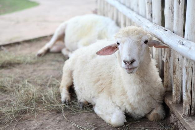 Овцы в поле