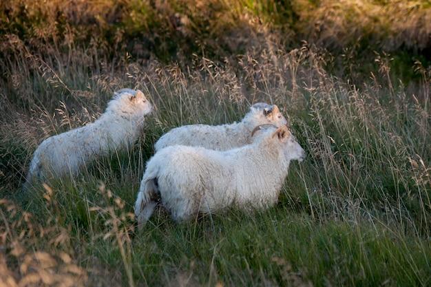 Овцы в лугах