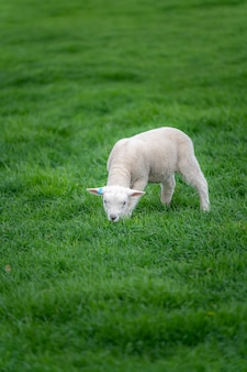 Овцы в зеленом поле