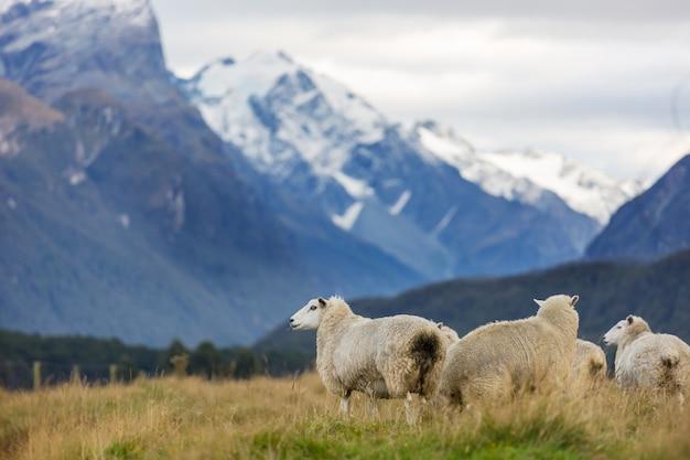 녹색 산 초원, 뉴질랜드의 농촌 현장에서 양