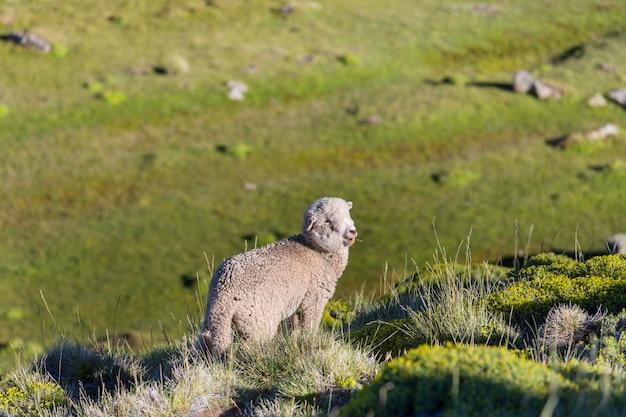 Овцы на зеленом горном лугу