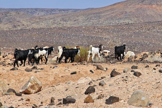 サウジアラビアの山の羊ワディディサ