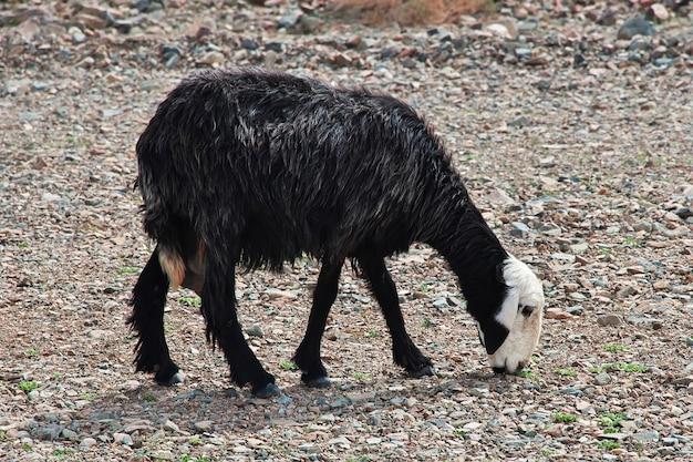 サウジアラビアの山の羊