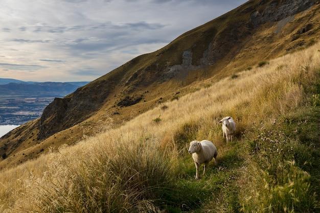 ニュージーランドの山の羊