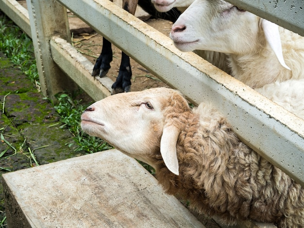 Овцы в конюшне выставляют свои головы из забора.