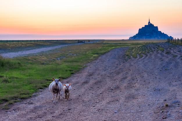 Овцы на переднем плане и мон сен-мишель