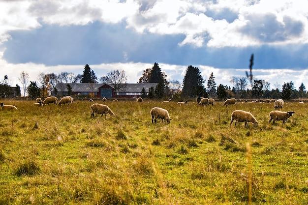계곡의 양. 가축 생활. 산에있는 농장. 양의 큰 그룹.