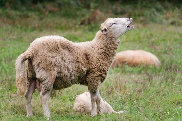 Овца плачет. портрет овцы блеющей. на лугу с зеленой травой.