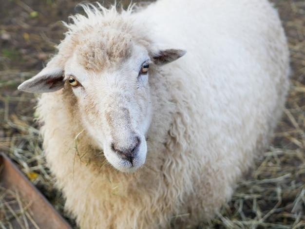 Овца смотрит в камеру. овцы, глядя на камеру в поле.