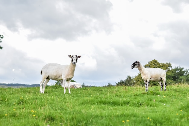 A sheep is looking camera while she is eating grass on the field with friend.